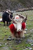 Yaks in the Nepal Himalaya Stock Photography