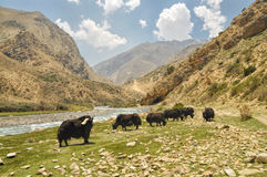 Yaks in Nepal Royalty Free Stock Photo