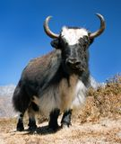 Yaks noirs et blancs Photographie stock