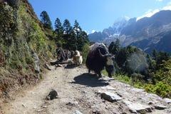 Yaks op de sleep, Namche-Bazaar, Everest-trek van het Basiskamp, Nepal royalty-vrije stock afbeelding