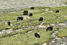 Yaks på betar nära floden Arkivbilder