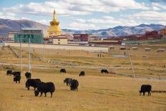 Yaks på gräsfält med guld- pagodbakgrund på Yarchen Gar, Arkivbild