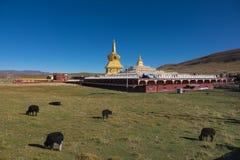 Yaks på gräsfält med guld- pagodbakgrund på Yarchen Gar Royaltyfri Fotografi