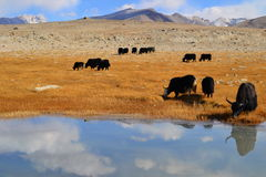 Yaks on the Pamir Highway. Tajikistan, Central Asia stock images