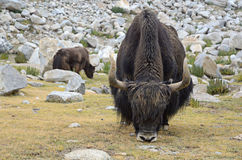 Yaks on pasture Stock Photos
