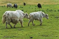 Yaks on a pasture. Gorkhi-Terelj National Park, Mongolia Stock Image