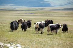 Yaks on pasture Royalty Free Stock Photo