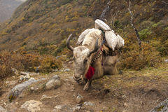 Yaks Stock Images