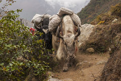 Yaks Royalty Free Stock Images