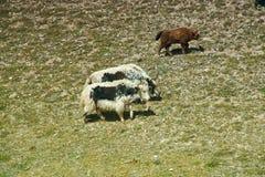 Yaks at Pik Lenin. Sary Mogul, Altai and Pamir Mountains, Kyrgyzstan, Central Asia stock photo