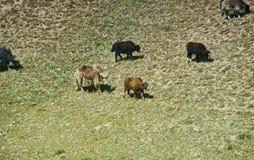 Yaks at Pik Lenin. Sary Mogul, Altai and Pamir Mountains, Kyrgyzstan, Central Asia stock photos