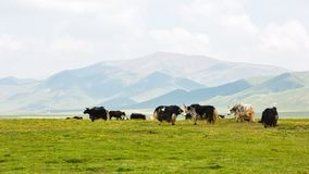 Yaks in the plateau pasture. The yaks in the plateau pasture with white cloud and blue sky at Qinghai province of China royalty free stock images