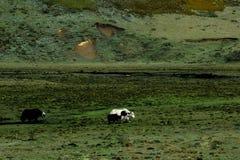 Yaks przy Ruoergai obszarem trawiastym, Gansu, Chiny zdjęcia stock