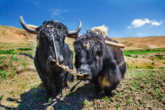 Yaks ready for ploughing Stock Photography