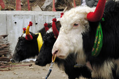 Yaks in a row Stock Image