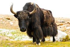 Yaks sauvages Photos libres de droits