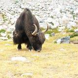 Yaks sauvages en montagnes de l'Himalaya. Inde, Ladakh Images libres de droits