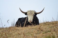 YAKS seuls, Kameng occidental Images stock