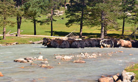 Yaks shallow of the river Stock Image
