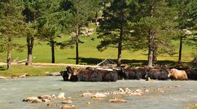 Yaks shallow of the river Royalty Free Stock Image
