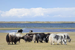 Yaks at the shore of Qinghai Lake. Small herd of yaks at the shore of Qinghai Lake stock photography