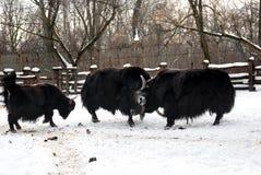 Yaks slåss Fotografering för Bildbyråer