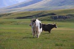 Yaks sur l'herbe Images libres de droits