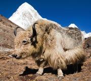 Yaks sur le chemin au camp de base d'Everest et au ri de Pumo de bâti Image libre de droits