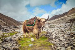 Yaks sur le chemin au camp de base d'Everest - Népal Images stock