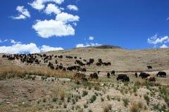 Yaks sur le plateau Photo libre de droits