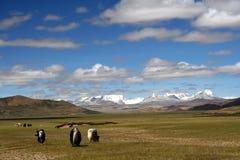 Yaks sur le plateau tibétain Photo stock