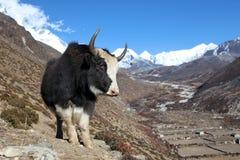 Yaks sur un journal au Népal Photo libre de droits