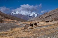 Yaks in Tajikistan. Herd of yaks high in scenic Pamir mountains in Tajikistan royalty free stock photography