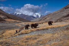 Yaks in Tajikistan. Herd of yaks in Pamir mountains in Tajikistan Stock Photography