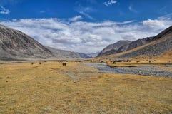 Yaks in Tajikistan. Herd of yaks by the river in Pamir mountains in Tajikistan stock photography
