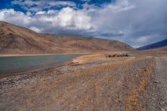 Yaks in Tajikistan. Herd of yaks by the river in Pamir mountains in Tajikistan Royalty Free Stock Photo