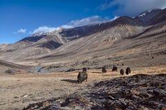 Yaks in Tajikistan. Herd of yaks in scenic Pamir mountains in Tajikistan Royalty Free Stock Photo