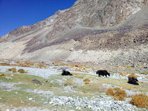 Yaks. Three black yaks beside the rocky mountains Stock Images