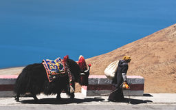 Yaks tibétains Photos libres de droits
