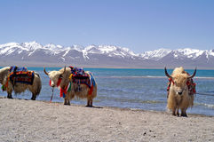 Yaks in Tibet. Yaks in front of snow covered mountains and lake in Tibet Stock Images