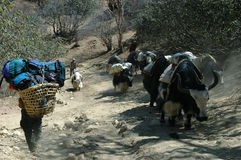 Yaks und Jungeträger im Himalaja Stockbild