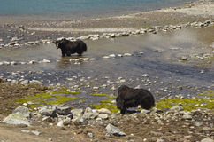 Yaks wading in Gokyo Lakes Royalty Free Stock Images
