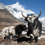 Yaks on the way to Everest base camp and mount Lhotse Stock Image