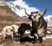 Yaks on the way to Everest base camp and mount Lhotse. Nepal stock photography
