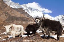 Yaks on the way to Everest base camp and mount Lhotse. Nepal stock photos