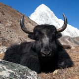 Yaks on the way to Everest base camp and mount Pumo ri. Nepal royalty free stock photography