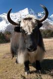 Yaks on the way to Everest base camp - Nepal Stock Photo