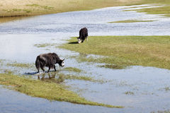Yaks in the wetlands of Qinghai Lake. Grazing Yaks in the wetlands of Qinghai Lake stock image