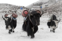Yaks at work Stock Photo