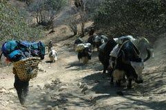 Yaks y muchacho-portero en el Himalaya Imagen de archivo